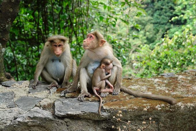 Three brown monkeys in Kerala, India