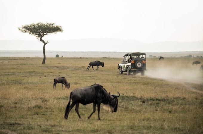 A jeep driving past buffalo in Masai Mara National Reserve