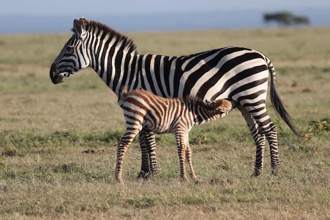 A baby zebra feeding