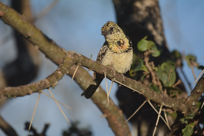 a small fluffy brown and beige yellow bird sits in a tree