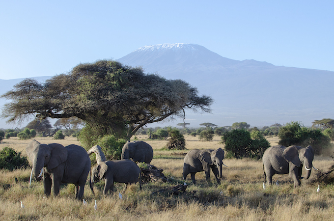 a number of elephants graze in tall grasses beside trees