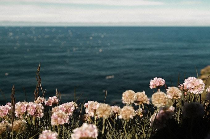 Flowers on the coast of Iceland