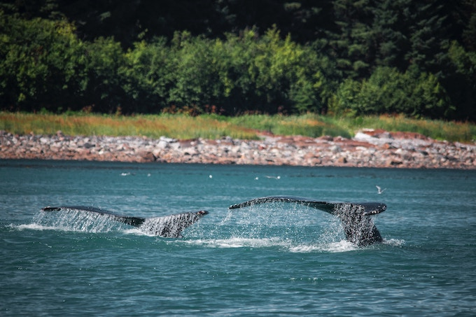 Two whale tails in Alaska