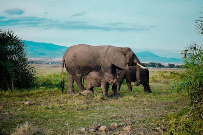 An elephant with two calves in Amboseli National Park