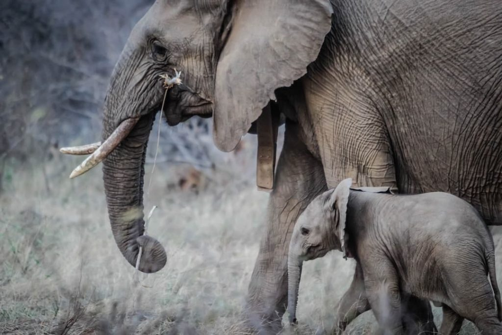 Elephant with calf by its side