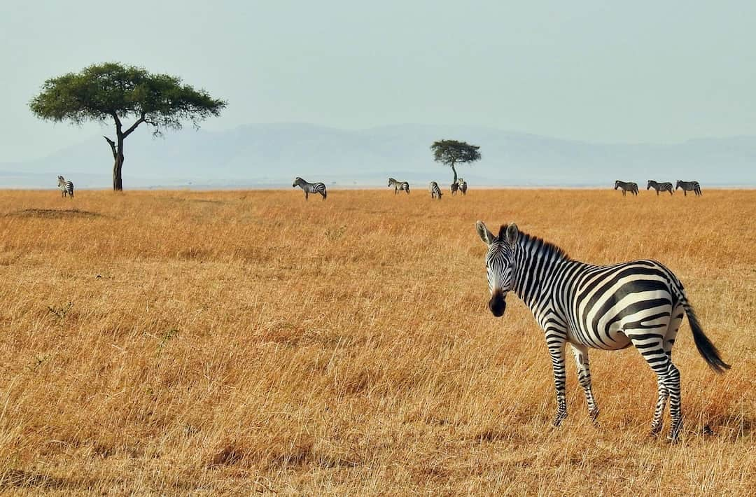 Zebra in the plains of Masai Mara National Reserve, Kenya