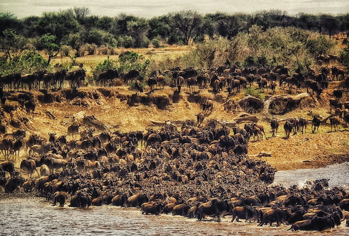 Hundreds of cape buffalo crossing a river in Masai Mara National Reserve, Kenya