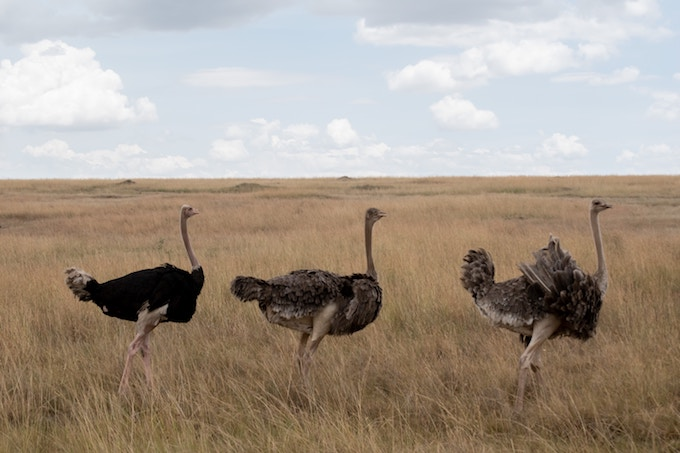Three Masai Ostriches in the plains of Masai Mara National Reserve, Kenya