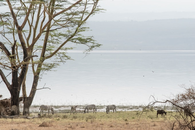 Zebra by the water in Nakuru National Park