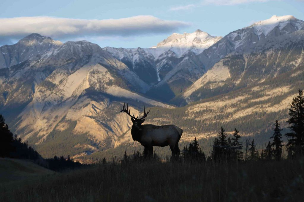 Elk with mountain peaks in the background