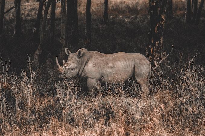 a rhino in Kenya