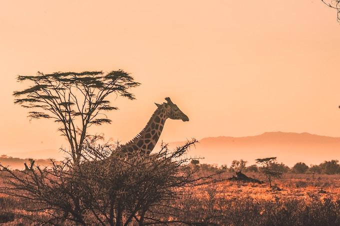 A giraffe at sunrise in Kenya