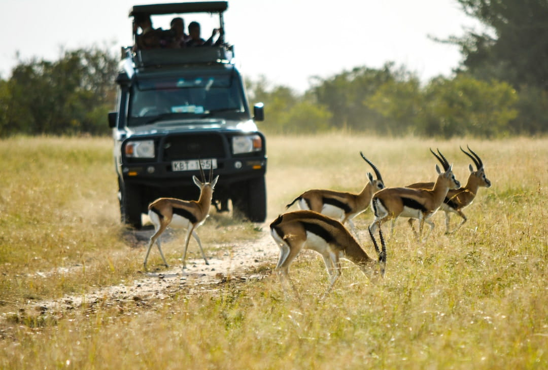 Gazelle in front of a safari jeep