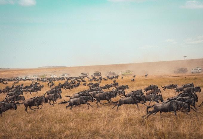 antelope during the great migration in masai mara national reserve, Kenya