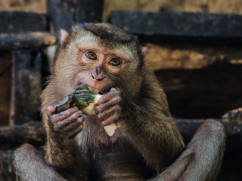 A monkey eating a piece of fruit in Thailand