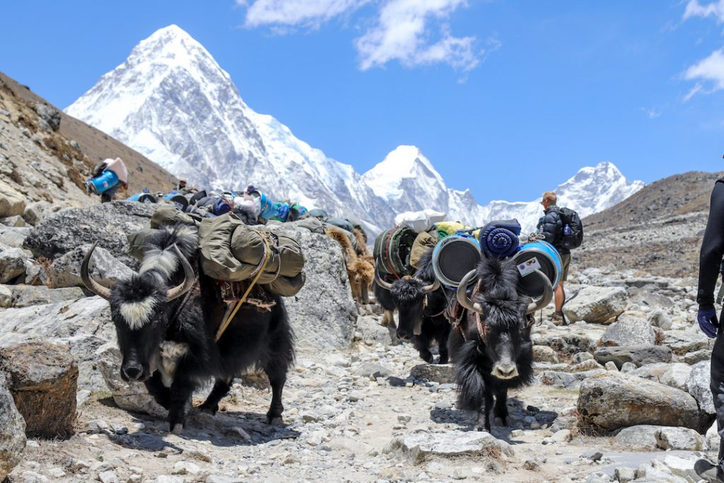Two horned beasts are loaded with goods below a snow-capped mountain