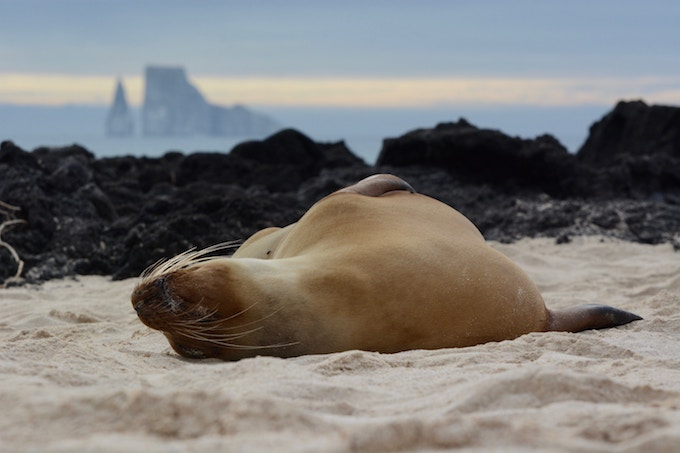 A seal lounging on the sand in the Galapagos Islands