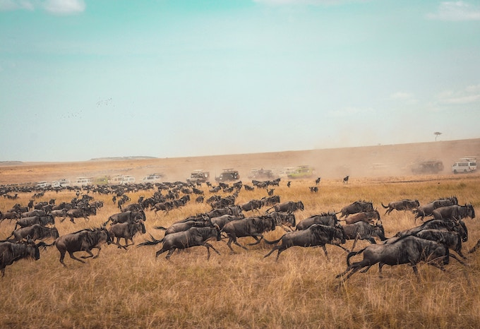 Wildebeest running in the Masai Mara during the Great MIgration