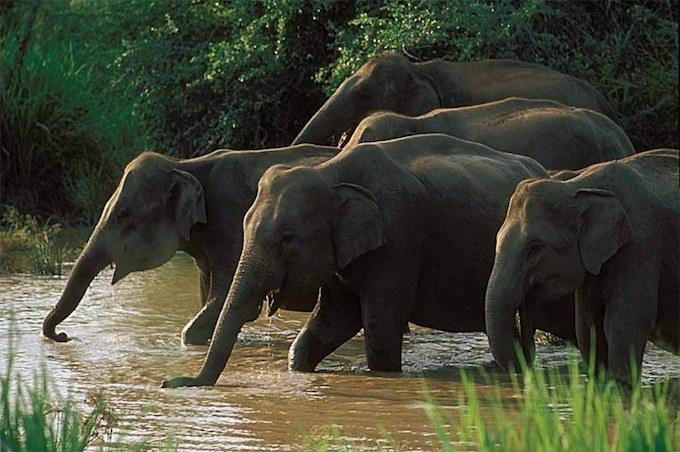 Elephants in the water in Minneriya