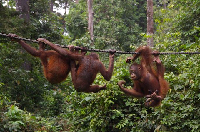 Three orangutans on a wire
