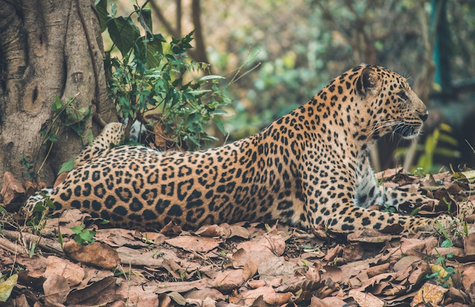 a leopard resting by a tree