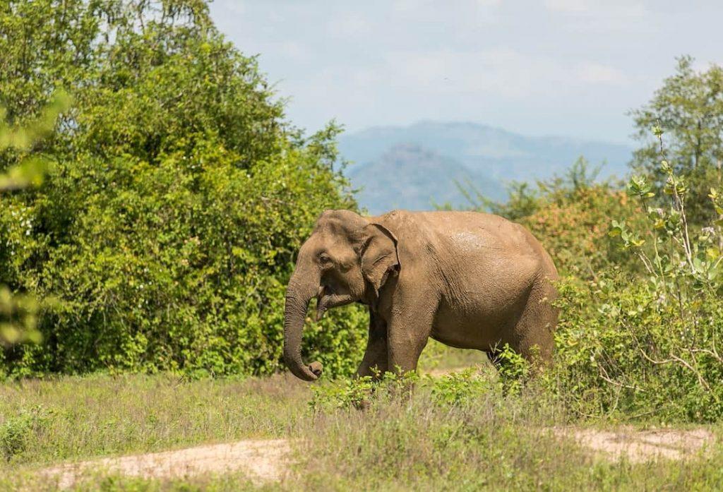 Elephant walking through trees in Uda Walawe National Park, Sri Lanka