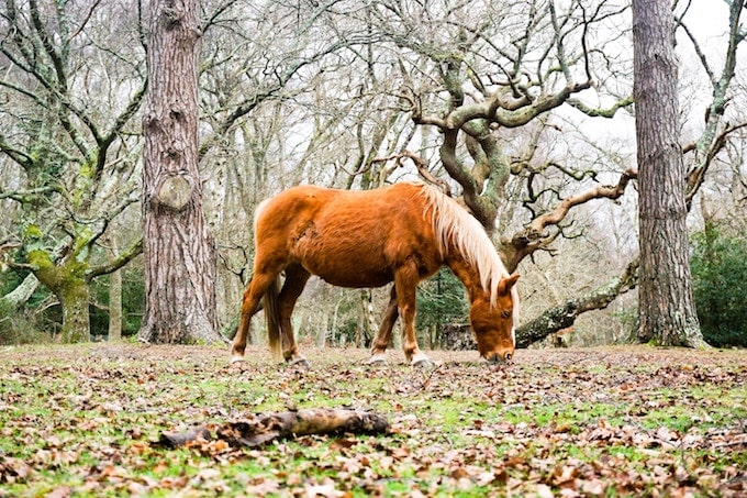 A New Forest pony in the wild