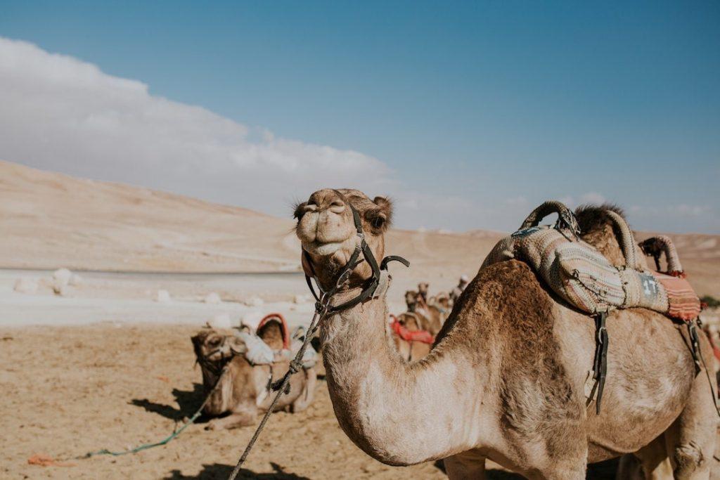 Two camels in Negev Desert in Israel