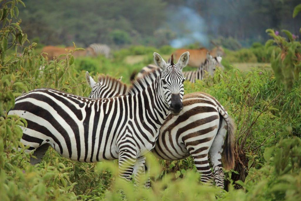 Zebras standing in the bush in Africa