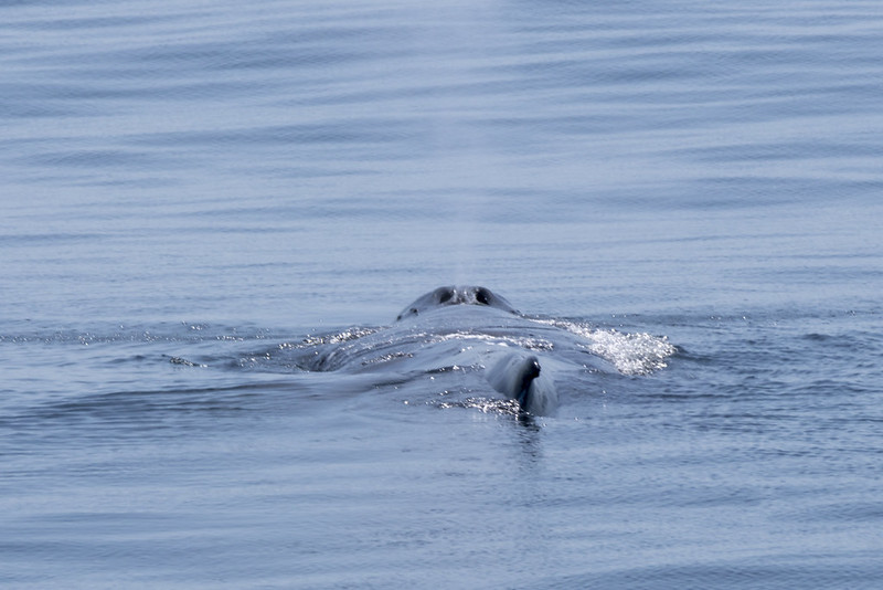 whale swims close to the surface