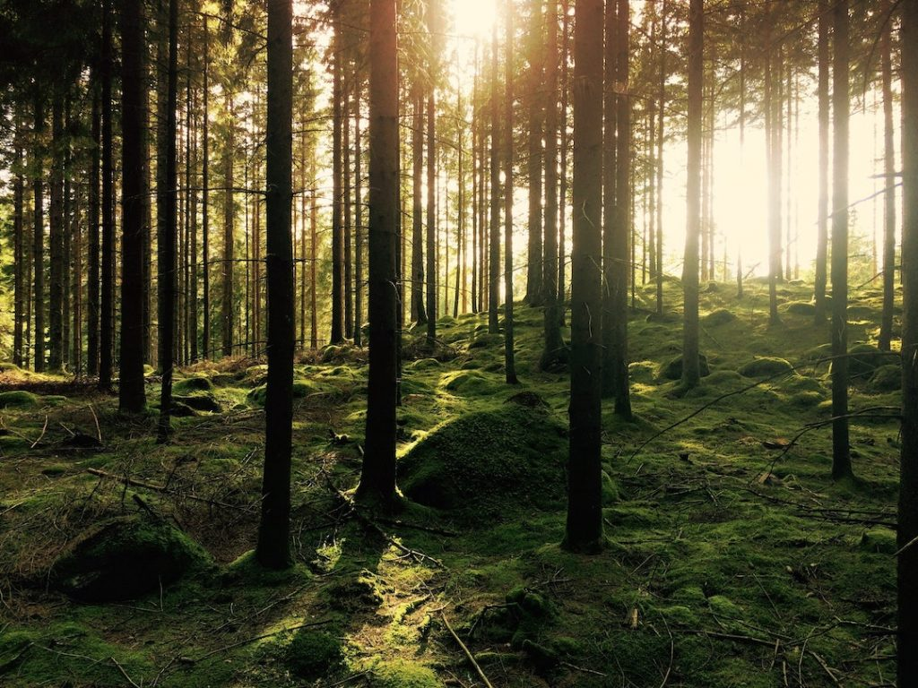 Forest with trees and moss-covered ground and sunlight filtering in