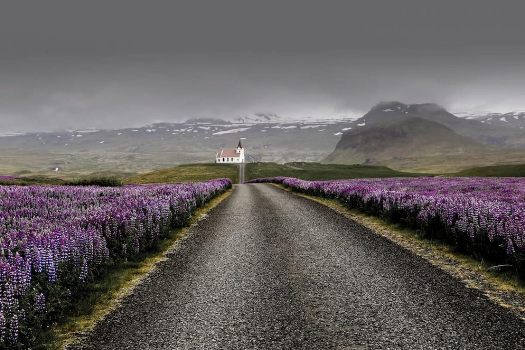 Open road surrounded by purple flowers in Iceland