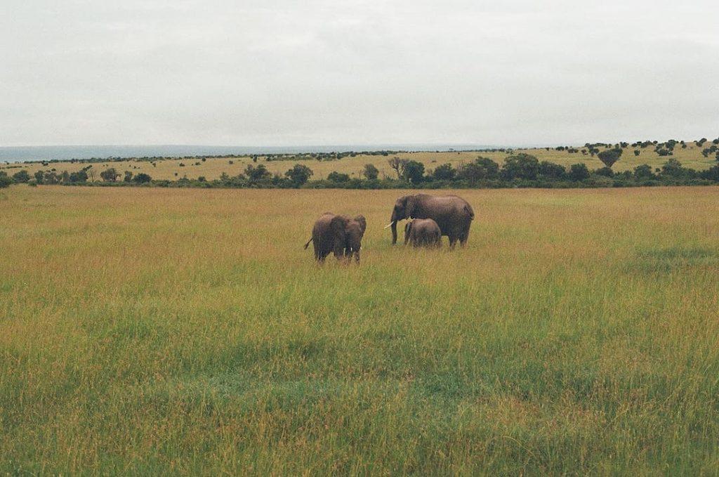 Three elephants in grasslands in East Africa