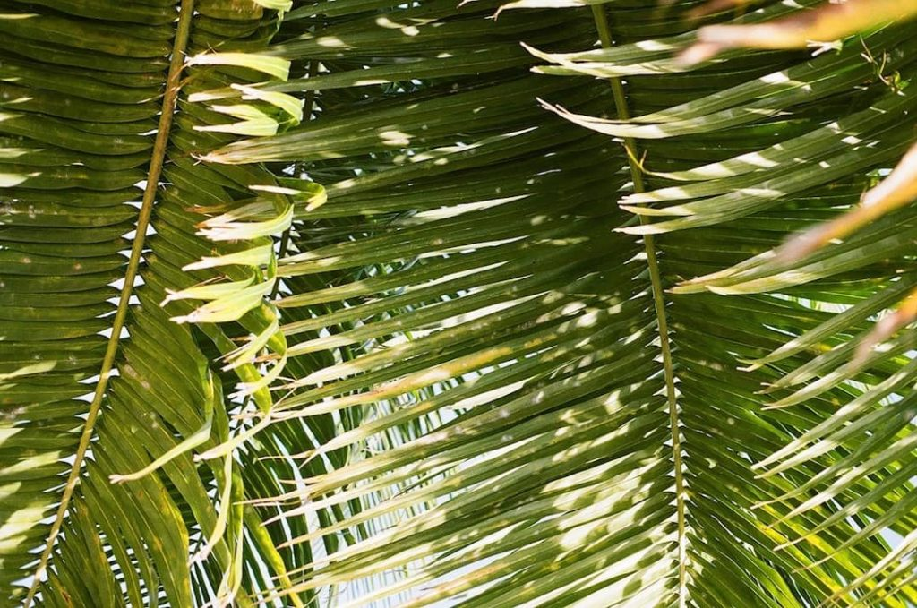 Close up photo of palm tree leaves