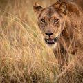 Lion in the grass in Uganda