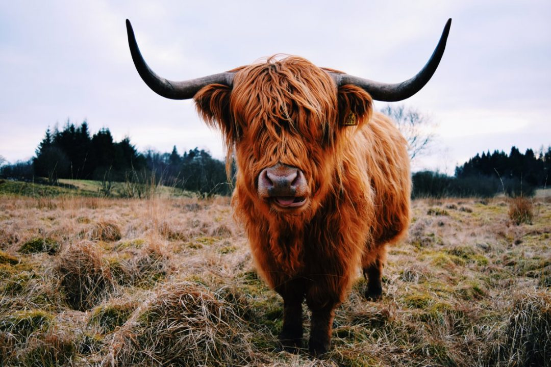 Highland-Cow-Scotland