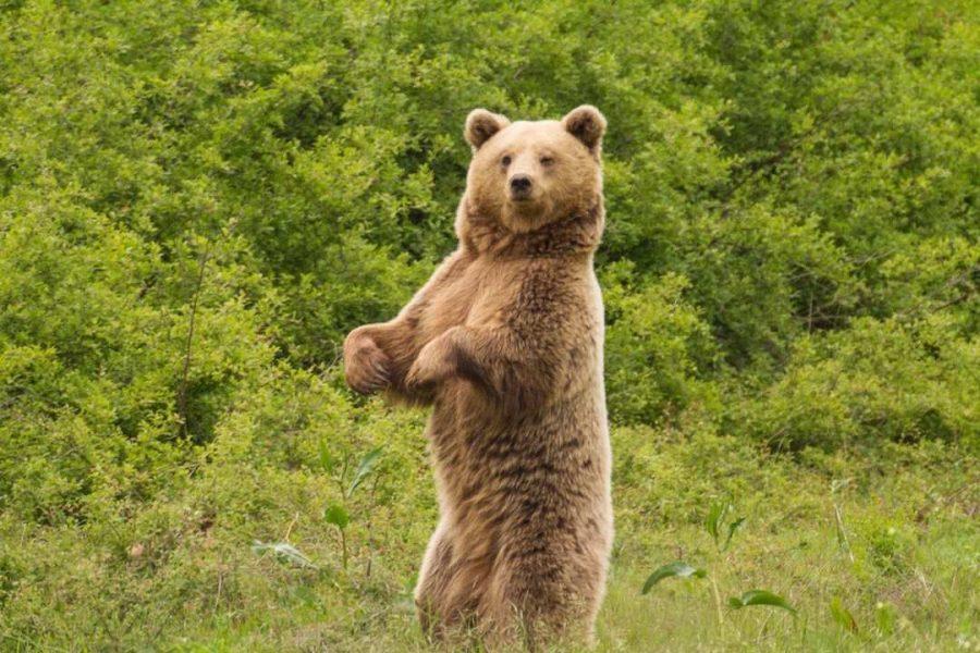 natural greece bear