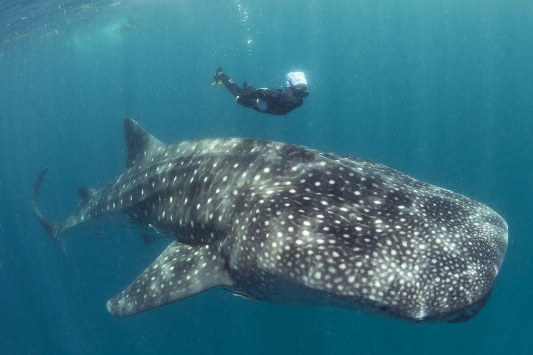 Whaleshark-diving