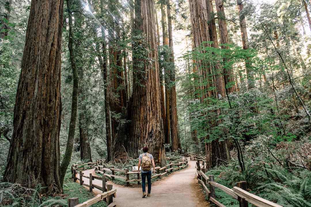 Redwood-Trees-California