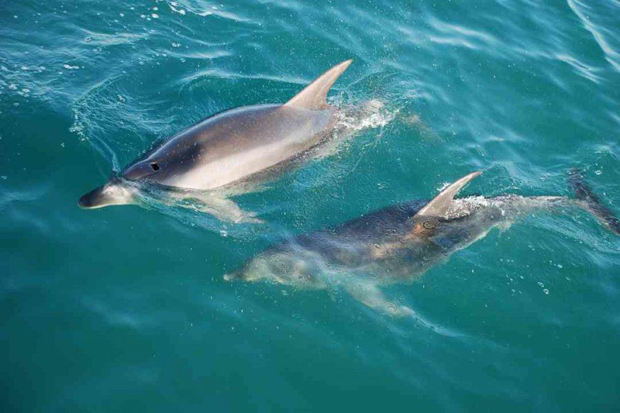 Dolphins-Kaikoura-New-Zealand